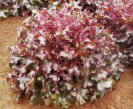 Semente Alface Imperial Roxa (Topseed Premium) - 2.000 sementes