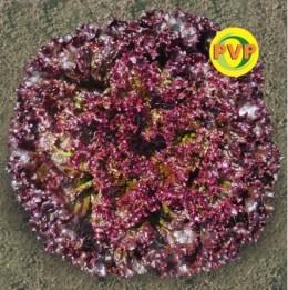 Semente Alface Pira Roxa (63) (Tecnoseed) - 5.000 sementes