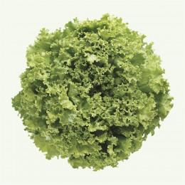 Semente Alface Vera (Sakata) - 7.500 sementes