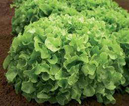 Semente Alface Imperial (Topseed Premium) - 2.000 sementes