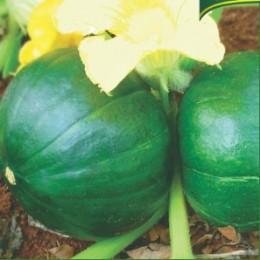 Semente Abóbora de Tronco Redonda (Tecnoseed) - 100 gramas